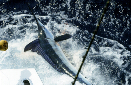 Photos of Atlantic White Marlin (including World Records ...